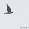 Black Tern <br /> Carlyle Lake