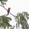 Summer Tanager <br /> Park Place Condos<br /> Lake of the Ozarks State Park