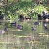 Wood Ducks  <br /> Ha Ha Tonka State Park