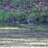 Wood Duck  <br /> Along path to spring <br /> Ha Ha Tonka State Park