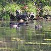 Wood Ducks  <br /> Along path to spring <br /> Ha Ha Tonka State Park
