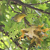 Bay-breasted Warbler <br /> Bridgeton, MO  <br /> 9/09/15 13:12:51