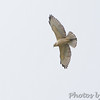 Broad-winged Hawk <br /> Bridgeton, MO  <br /> 9/09/15 13:04:13
