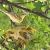 Bay-breasted Warbler <br /> Bridgeton, MO  <br /> 9/09/15 13:12:54