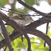 Chestnut-sided Warbler <br /> Bridgeton, MO  <br /> 9/09/15 13:29:38