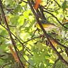 Magnolia Warbler <br /> Bridgeton, MO  <br /> 9/09/15 13:12:26