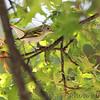 Chestnut-sided Warbler <br /> Bridgeton, MO  <br /> 9/09/15 13:18:44