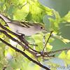 Chestnut-sided Warbler <br /> Bridgeton, MO  <br /> 9/09/15 13:18:58