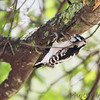 Downy Woodpecker <br /> Bridgeton, MO  <br /> 9/09/15 13:13:06
