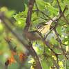 Black-throated Green Warbler <br /> Bridgeton, MO  <br /> 9/09/15 13:15:19