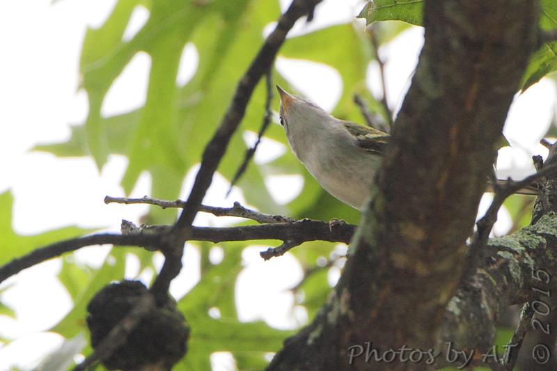 Unknown warbler <br /> Bridgeton, MO <br />  9/09/15 12:26:21