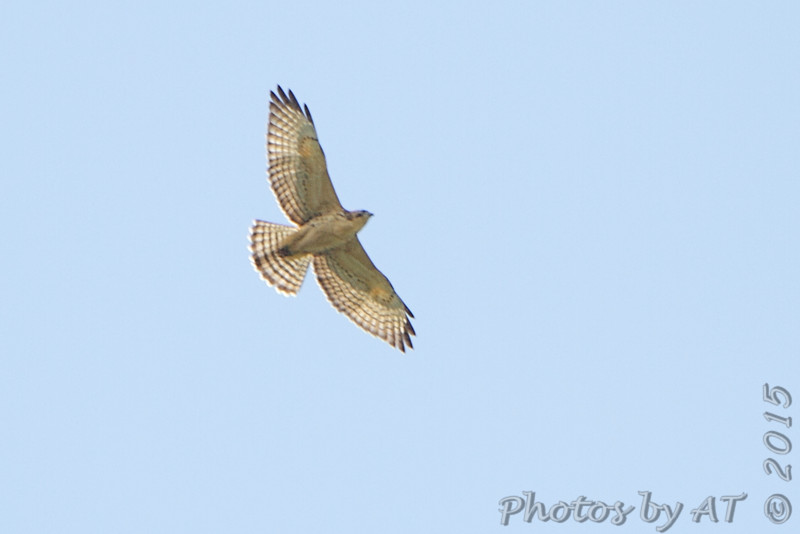 Broad-winged Hawk <br /> Bridgeton, MO  <br /> 9/09/15 13:05:16