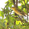 Bay-breasted Warbler <br /> Bridgeton, MO  <br /> 9/09/15 13:15:48