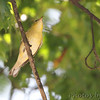 Bay-breasted Warbler <br /> Bridgeton, MO  <br /> 9/09/15 13:14:50