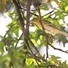 Bay-breasted Warbler <br /> Bridgeton, MO  <br /> 9/09/15 13:15:43