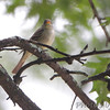 Unknown flycatcher <br /> Bridgeton, MO  <br /> 9/09/15 11:36:32