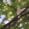 Chestnut-sided Warbler <br /> Bridgeton, MO  <br /> 9/09/15 13:23:39