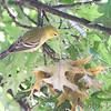 Bay-breasted Warbler <br /> Bridgeton, MO  <br /> 9/09/15 13:12:52