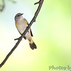 American Redstart <br /> Bridgeton, MO <br />  9/09/15 13:27:53