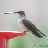 Ruby-throated Hummingbird <br /> Bridgeton, MO <br /> 9/09/15 15:31:27
