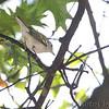 Chestnut-sided Warbler <br /> Bridgeton, MO  <br /> 9/09/15 13:29:11
