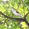 Chestnut-sided Warbler <br /> Bridgeton, MO  <br /> 9/09/15 13:22:10