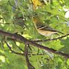 Bay-breasted Warbler <br /> Bridgeton, MO  <br /> 9/09/15 13:12:57