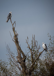 White-tailed Kite Pair