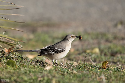Northern Mockingbird with Olive