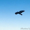 Common Raven?<br /> Crop of next photo<br /> Higher Education parking lot <br /> Airport Road <br /> California Maryland