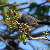 Gray Catbird  <br /> Point Lookout State Park <br /> St. Mary's County, Maryland <br /> 4/24/16