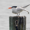 Royal Tern <br /> Solomons Island <br /> Calvert County, Maryland