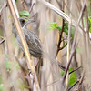 Seaside Sparrow <br /> Point Lookout State Park <br /> St. Mary's County, Maryland <br /> 4/26/16