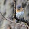 Eastern Bluebird <br /> Skyline Drive <br /> Virginia <br /> 4/23/16