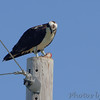 Osprey <br /> Long Neck Road <br /> St. Mary's County, Maryland <br /> 4/24/16