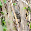 Seaside Sparrow <br /> Point Lookout State Park <br /> St. Mary's County, Maryland