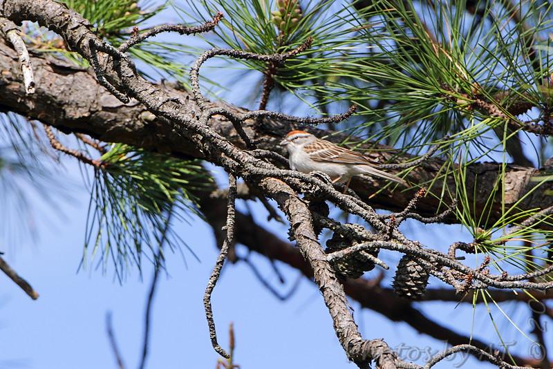 Chipping Sparrow <br /> Skyline Drive <br /> Virginia <br /> 4/23/16