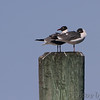 Laughing Gulls <br /> Point Lookout State Park <br /> St. Mary's County, Maryland <br /> 4/24/16