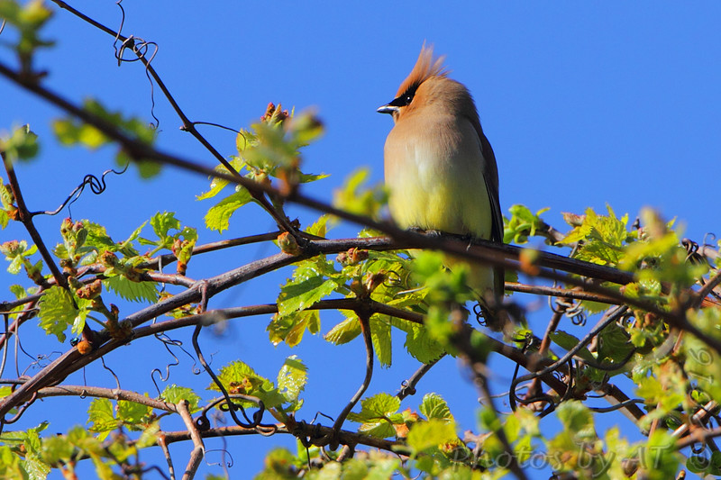 Cedar Waxwing <br /> Point Lookout State Park <br /> St. Mary's County, Maryland <br /> 4/24/16