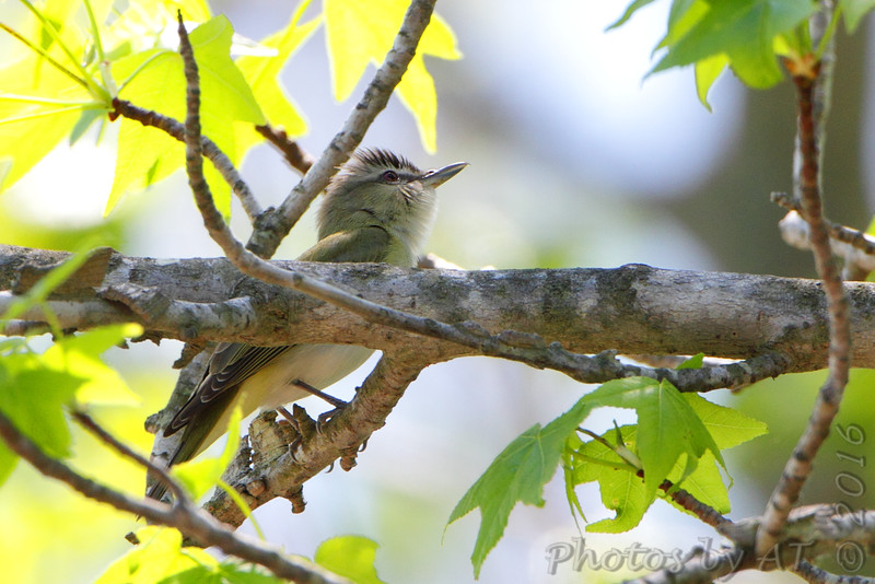 Red-eyed Vireo <br /> St. Mary's County landfill road <br /> Maryland
