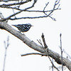 Black and White Warbler <br /> Skyline Drive <br /> Virginia <br /> 4/23/16