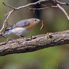 Eastern Bluebird <br /> Skyline Drive <br /> Virginia <br /> 4/23/16