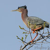 Green Heron <br /> Point Lookout State Park <br /> St. Mary's County, Maryland <br /> 4/24/16