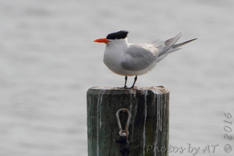 Royal Tern <br /> Solomons Island <br /> Calvert County, Maryland