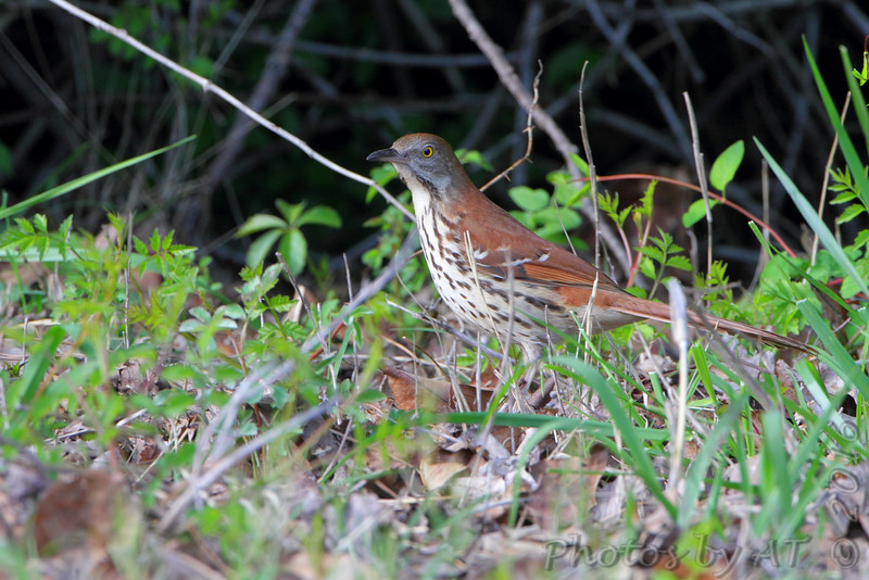 Brown Thrasher  <br /> Point Lookout State Park <br /> St. Mary's County, Maryland <br /> 4/24/16