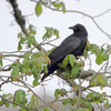 Common Raven<br /> Point Lookout State Park <br /> St. Mary's County, Maryland <br /> 4/29/16