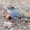 Gray Catbird <br /> Maryland <br /> 4/27/16