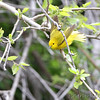 Yellow Warbler <br /> Point Lookout State Park <br /> St. Mary's County, Maryland <br /> 4/29/16