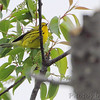 Prairie Warbler <br /> Point Lookout State Park <br /> St. Mary's County, Maryland <br /> 4/29/16