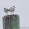 Laughing Gulls <br /> Point Lookout State Park <br /> St. Mary's County, Maryland <br /> 4/29/16